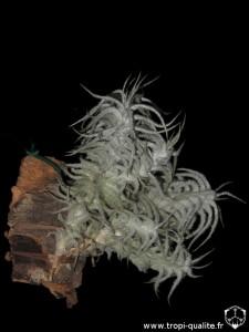 Tillandsia stellifera (cliquez pour agrandir)