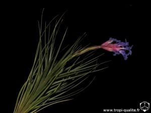 Floraison Tillandsia tenuifolia spécimen #3 (cliquez pour agrandir)