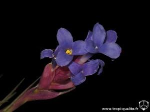 Floraison Tillandsia tenuifolia spécimen #3 fleur (cliquez pour agrandir)