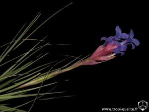 Tillandsia tenuifolia spécimen #3 inflorescence (cliquez pour agrandir)