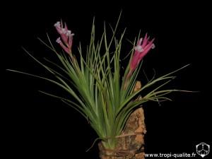 Floraison Tillandsia tenuifolia spécimen #4 (cliquez pour agrandir)