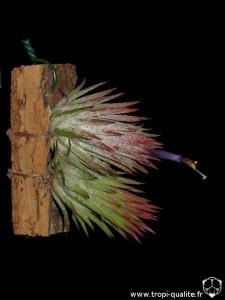 Floraison Tillandsia ionantha var. ionantha