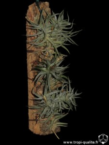 tillandsia_rectangula