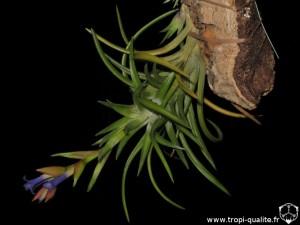 Floraison Tillandsia neglecta spécimen #4 (cliquez pour agrandir)