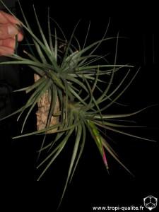 Floraison Tillandsia concolor (cliquez pour agrandir)