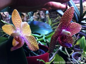 Floraison Phalaenopsis x Joy Aukland Beauty
