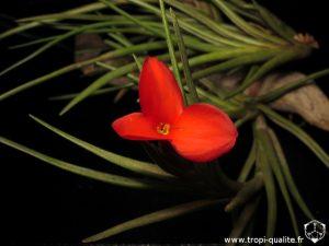 floraison Tillandsia albertiana spécimen #2 fleur (cliquez pour agrandir)