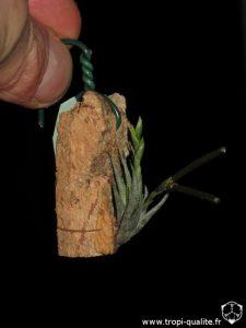 Tillandsia loliacea (cliquez pour agrandir)